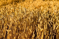 Close-up of wheat in field. backdrop of ripening ears of yellow wheat field on the sunset background. Copy space on horizon in rural nature photo Idea of a rich harvest. Selective focus