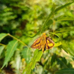 Close Up Of Whirlabout butterfly. Fiery skipper. Potanthus omaha. Potanthus omaha butterfly. Fiery skipper butterfly. Insect. H. phyleus.