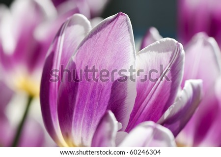 Close up of white and pink tulips. Shallow DOF.