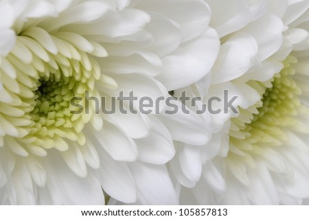 Close up of white flower : aster with pink petals and yellow heart for background or texture