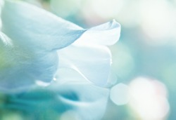 close up of white flower petal, shades of white, teal, soft dreamy image