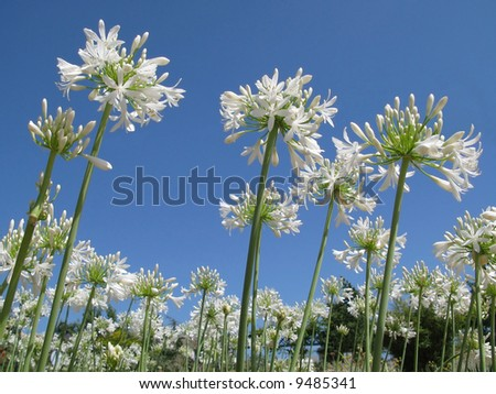 Close-up of white flowers and a blue sky