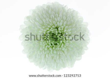 Close-up of white flowers.(Chrysanthemum)