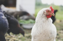 Close-up of white hen in chicken coop amongst other chickens on soft background