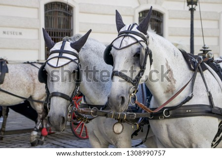 Close-up of White Horses with Carriage Outside Hofburg Imperial Palace, Vienna, Austria