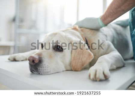 Close up of white Labrador dog lying on examination table in vet clinic, copy space Zdjęcia stock ©