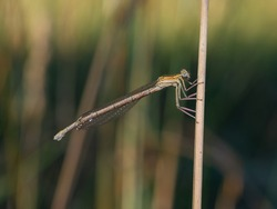 Close-up of white-legged or blue featherleg damselfly female. Platycnemis pennipes female in pale yellow-green coloring with black markings. Blurred background.