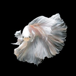 Close up of white platinum Betta fish or Siamese fighting fish in movement isolated on black background.