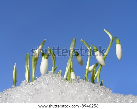 Close-up of white snowdrops in snow against clear blue sky