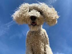 Close up of white standard poodle dog looking down at camera isolated on blue sky background
