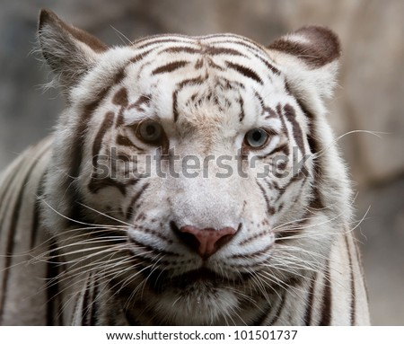 close up of white tiger