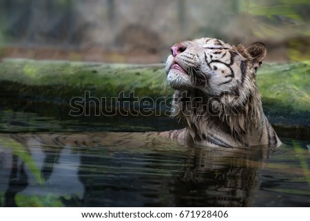 Stock Photo Close up of white tiger feeling good in the pond or swamp.