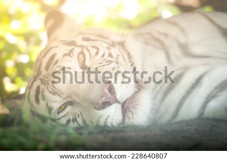 Close Up of White Tiger Lying Down on Side Looking at Camera #228640807