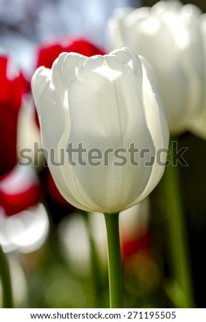 Close up of white tulip flower stem backlit by the sun in tulip field on flower bulb farm
