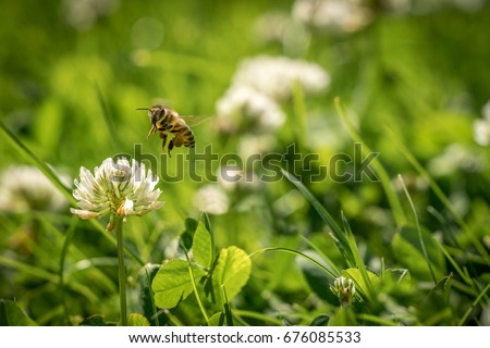 Close up of wild bee in mid-air next to a clover flower. Summer garden shot. #676085533