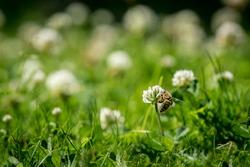 Close up of wild bee next to a clover flower. Summer garden shot.