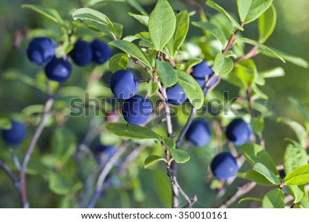 Close-up of wild growing blueberry bush with berries