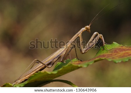 close up of wild side of praying mantis mantodea on a green brown left  in the bush