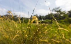 Close up of wild wheat in a meadow. The plants move slightly in the wind. Fine green and yellow stalks. A rain forest clearing under the blue sky in Malaysia