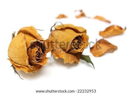 Close up of withered rose and petal over white background.