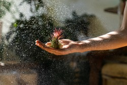 Close up of woman florist holding in her wet hand and spraying air plant Tillandsia at garden home/greenhouse, taking care of houseplants. Indoor gardening.
