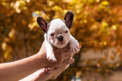 Close up of women owner hands of little french bulldog holding new-born mongrel puppies in park in warm weather. Innocent pathetic mammal face. Newborn puppy Dog 1 month already Vaccination.