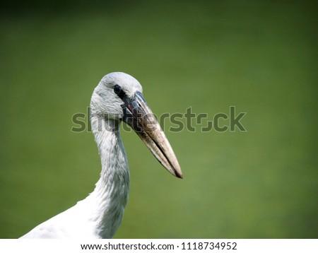Close up of wood stork bird #1118734952