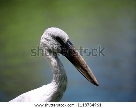 Close up of wood stork bird #1118734961