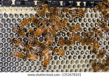 Close up of worker bees (Apis mellifera) drawing out the wax honeycomb on a beehive frame. Most cells are unfinished and uncovered, but glistening with nectar.