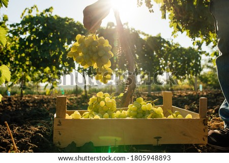 Close up of Worker's Hands Cutting White Grapes from vines during wine harvest in Italian Vineyard. picking the sweet white grape bunches - family business, tradition concept Foto stock ©