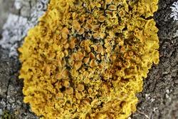 Close up of Xanthoria parietina. Yellow lichen on the bark of a tree. common orange lichen, yellow scale, maritime sunburst lichen and shore lichen