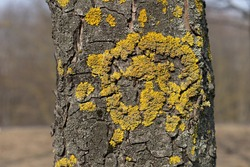 Close up of Xanthoria parietina. Yellow scale on the bark of a tree. Moss on a branch. Textured wood surface with lichens colony. Fungus ecosystem on tree trunk. Common orange lichen. Soft focus.