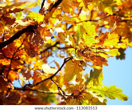 Close-up of yellow and orange oak leaves at autumn