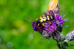 close up of yellow beetle on purple thistle