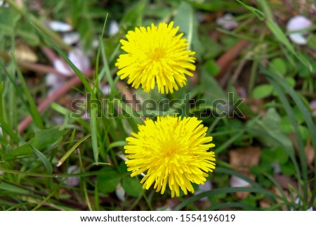 Close up of Yellow dandelion  flowers blossom in green grass on the field. Yellow summer flowers. Spring time concept with blooming dandelion.
