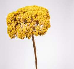 Close up of Yellow Dried Curry Plant