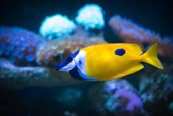 Close-up of Yellow foxface rabbitfish