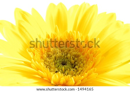 Close up of yellow gerber daisy in isolated white