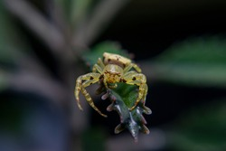 Close-up of Yellow Jumping Spider, Yellow Leaf Spider with long legs to jump further. Yellow jumping spider main food is small insects by ambushing prey
