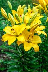Close up of Yellow lily flower. Hemerocallis also called Lemon Lily, Yellow Daylily, Hemerocallis flava. Yellow lily flower, known as Lilium parryi, beautiful.