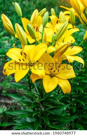 Close up of Yellow lily flower. Hemerocallis also called Lemon Lily, Yellow Daylily, Hemerocallis flava. Yellow lily flower, known as Lilium parryi, beautiful. Stock photo ©