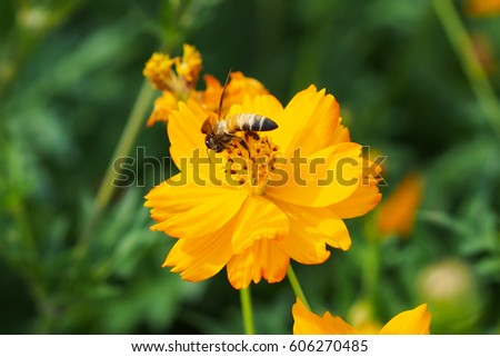 Close up of yellow, orange cosmos flower with a bee at the center with green leaves, buds, red pistils, stamen and plants on the background #606270485