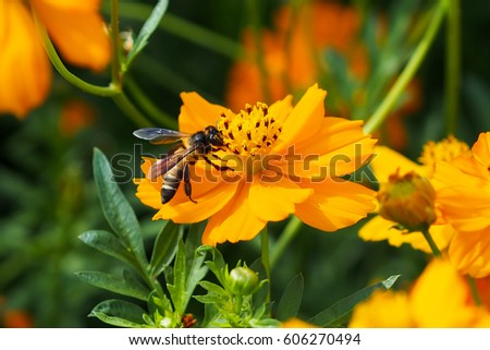 Close up of yellow, orange cosmos flower with a bee at the center with green leaves, buds, red pistils, stamen and plants on the background #606270494