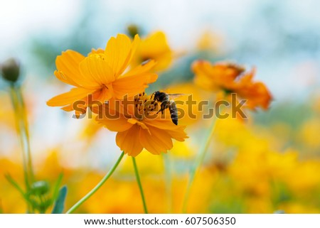 Close up of yellow, orange cosmos flower with a bee at the center with green leaves, buds, red pistils, stamen and plants on the background #607506350