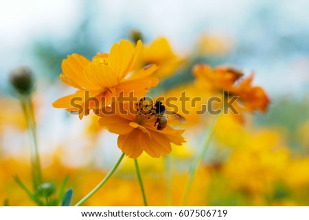 Close up of yellow, orange cosmos flower with a bee at the center with green leaves, buds, red pistils, stamen and plants on the background #607506719