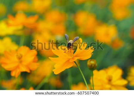 Close up of yellow, orange cosmos flower with a bee at the center with green leaves, buds, red pistils, stamen and plants on the background #607507400