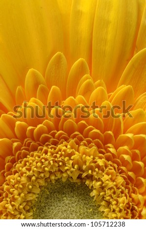 Close up of yellow petals, pistils and green heart flower of aster for background or texture #105712238