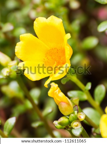 Close up of Yellow Portulaca flowers in the garden