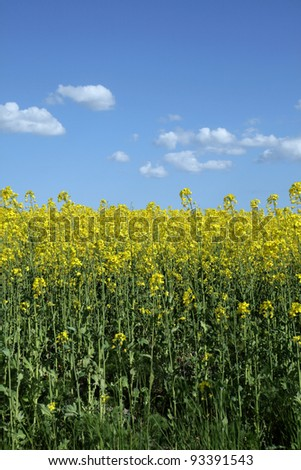 Close-up of yellow rapeseed-field on a blue sky with some clouds.
