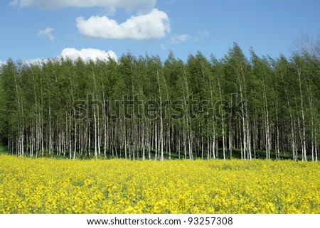 Close-up of yellow rapeseed-field with birch trees in the back, on a blue sky with some clouds.
